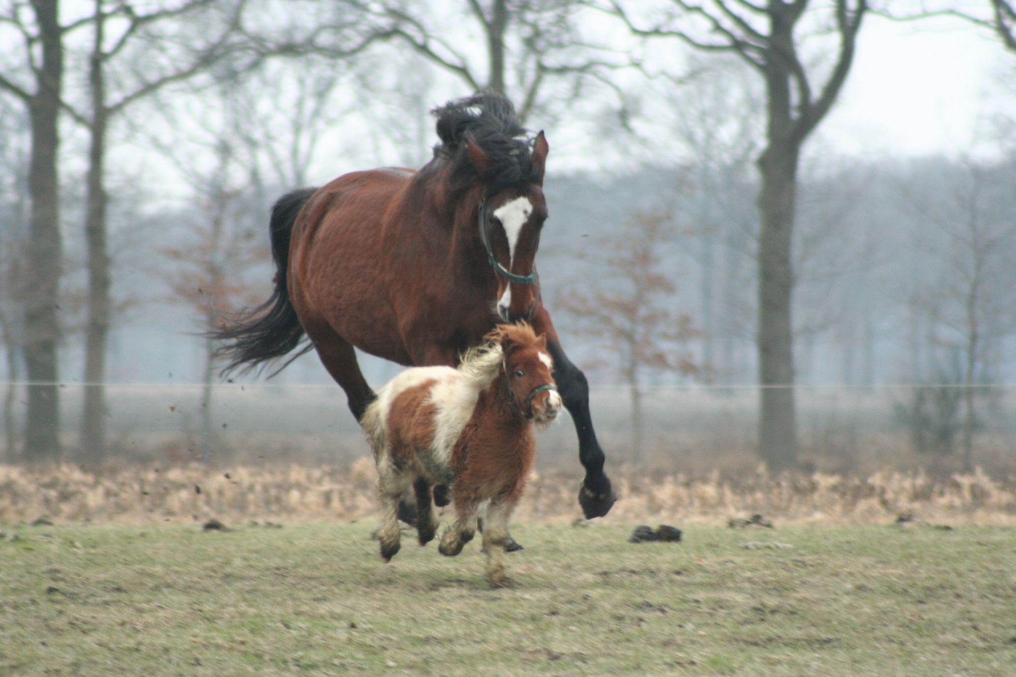 Horse-and-pony