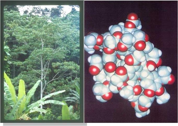 Croton_Lechleri_to_Crofelemer_Molecule