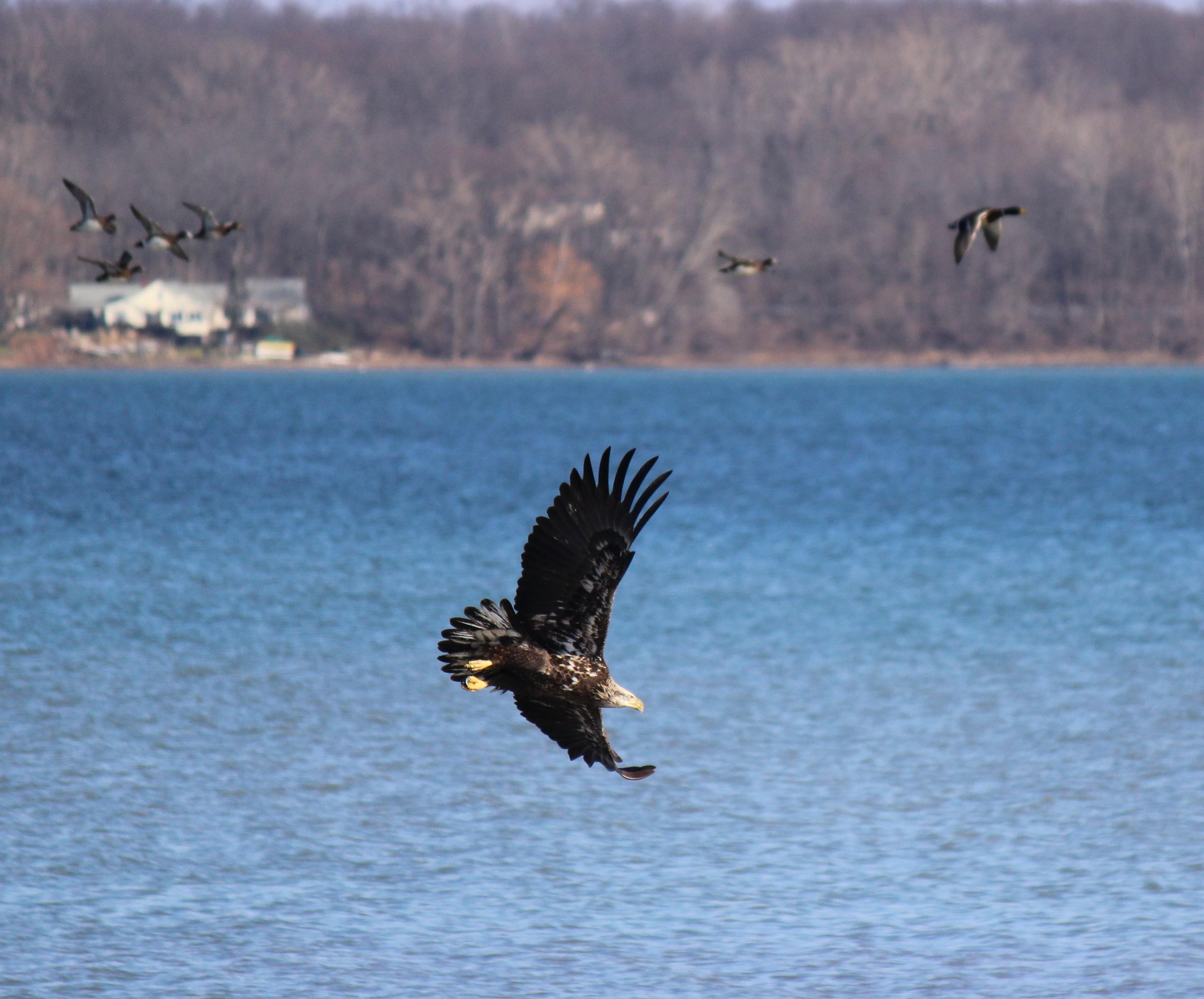 eagle and ducks.jpg
